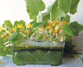 Cucumber plants in hydroponic tank, 7 weeks old