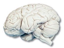 Life Science Health & Human Body FOSS Model Brain