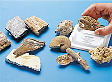 Demonstration Fossil Invertebrate Set
