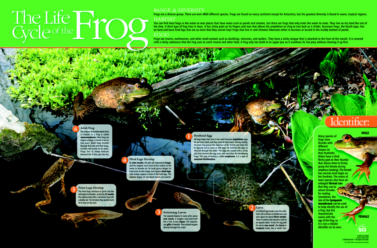 Neo/SCI Frog Life Cycle Laminated Poster, 35 in W X 23 in H